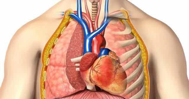anatomia do torax mostrando os orgaos