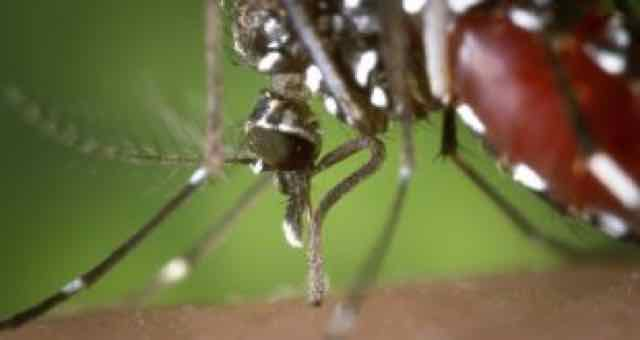 close up do mosquito aedes