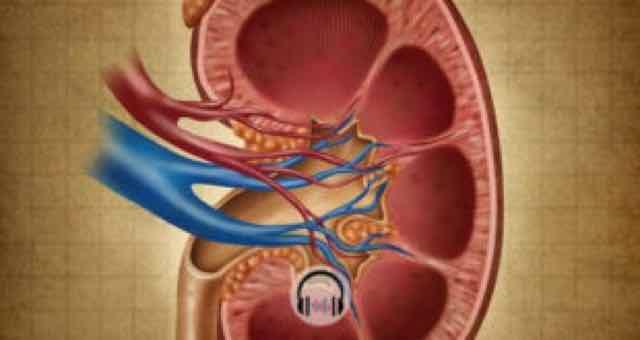ilustração da parte interna de um rim