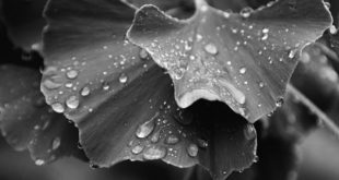 folhas de ginkgo biloba, fitoterápico, com gotas de chuva em preto e branco