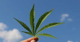folha de cannabis sativa, usada como cannabis medicinal