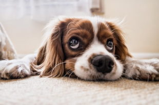 cachorro esperando dono chegar, que possui menor risco cardiovascular
