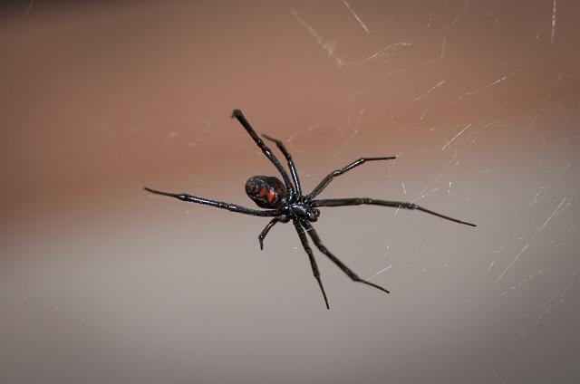 aranha viúva-negra em teia de aranha representando animais peçonhentos
