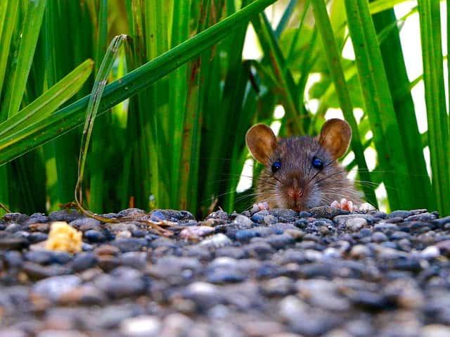 rato saindo do meio do mato, causador da peste pulmonar