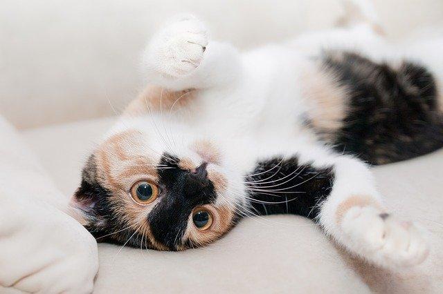gato de estimação deitado no sofá com coronavírus