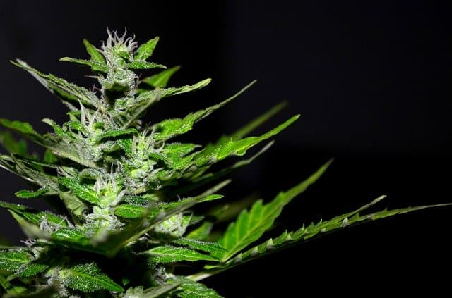 Planta de Cannabis utilizada para produção de remédio.