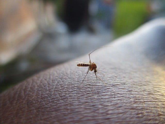 Mosquito transmissor da febre do nilo ocidental.