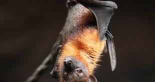 Morcego é uma das espécies que podem transmitir raiva humana, motivo do alerta de saúde.