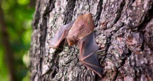 Morcego identificado como portador do hantavírus