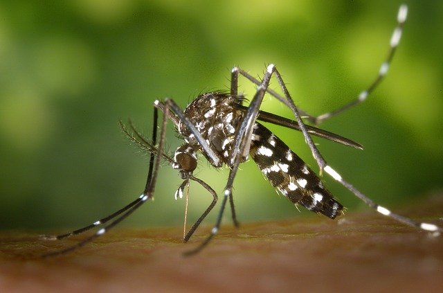 mosquito aedes pousado levando zika vírus