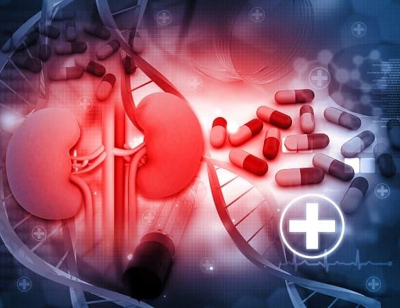 Representação gráfica de um rim humano que pode ser afetada por doenças renais císticas