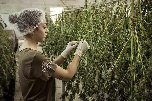 Cultivo de cannabis para fins medicinais contra sintomas climatéricos.