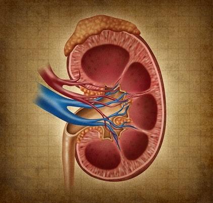 Representação gráfica de um rim, órgão acometido pela doença renal crônica que pode fazer com que pacientes se utilizem de Hemodiálise e possam ter problemas de desnutrição.