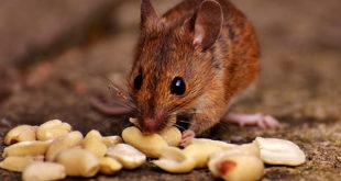 Chapare, novo vírus encontrado na Bolívia, pode ser transmitido através de roedores silvestres.